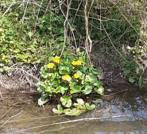 Kingcups - marsh marigolds